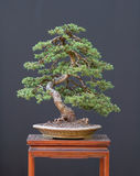 świerczyna bonsai obrazy stock