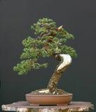 świerczyna bonsai Obrazy Royalty Free