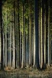 Świerczyna - Pionowo las - drewna obrazy royalty free