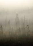 Świerczyna w mgle Obraz Royalty Free