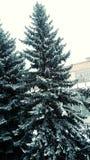 Świerkowa zima Zdjęcia Royalty Free