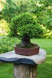 Świerkowi bonsai Obrazy Royalty Free
