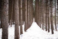 Świerkowi Drzewa Obraz Stock