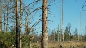 ?wierkowi lasy atakuj?cy i atakuj?cy Europejskim ?wierkowym korowatej ?cigi zarazy Ips typographus, wyra?na kl?ska powodowa? zdjęcie wideo