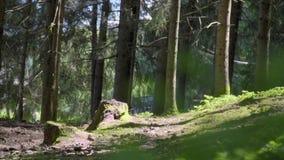 ?wierkowy Drzewny las zdjęcie wideo