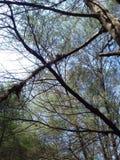 świerkowy drzewo obrazy stock
