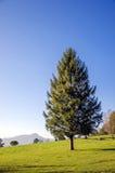 Świerkowy drzewo Zdjęcia Royalty Free