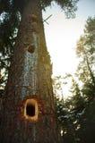 Świerkowy drzewo Obraz Royalty Free