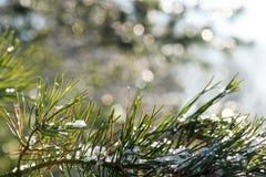 Świerkowy drzewo w zimie z abstrakcjonistycznym plamy boke w świetle słonecznym Zdjęcia Stock