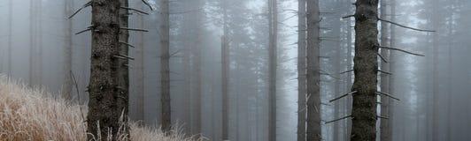 Świerkowy las Zdjęcia Royalty Free