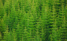 świerkowy tekstury drzewo Zdjęcie Stock