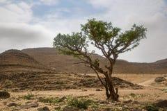 Wierookharsboom in Salalah Stock Afbeelding