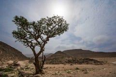 Wierookharsboom in Salalah Royalty-vrije Stock Fotografie