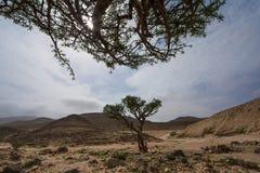 Wierookharsboom in Salalah Royalty-vrije Stock Foto's