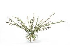 Wierzb gałązki odizolowywać na białym tle w wazie Obraz Stock