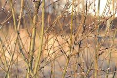 Wierzba, drzewo, krzak, krzak, wiosna, słoneczny dzień, nabrzmiewający pączek obraz stock