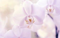 Wierzba kwiatonośne gałąź Zdjęcia Stock