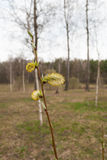Wierzba rozgałęzia się z baziami Zdjęcia Royalty Free