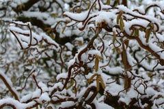 Wierzba w zimie zdjęcie royalty free
