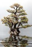 Wierzbowa liść figa Zdjęcia Stock