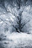 wierzbowa zima Zdjęcie Royalty Free