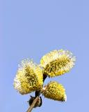 Wierzbowe bazie przeciw jasnemu niebieskiemu niebu, zbliżenie Fotografia Royalty Free