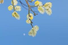 Wierzbowe bazie Przeciw niebieskiemu niebu Fotografia Royalty Free