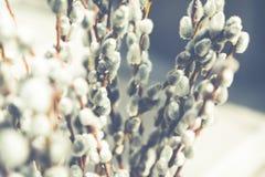 Wierzbowe bazie, wiosna, wielkanoc obraz royalty free