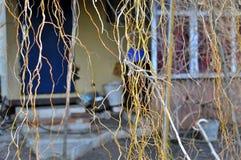 Wierzbowe gałąź W tle jest dom na wsi zdjęcie royalty free