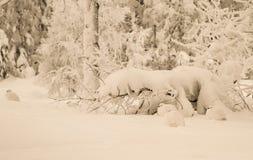 Wierzbowe pardwy Fotografia Stock