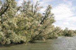 Wierzbowi drzewa Fotografia Stock