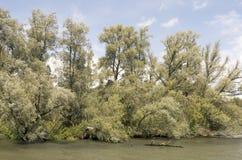 Wierzbowi drzewa Obrazy Royalty Free