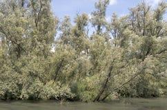 Wierzbowi drzewa Fotografia Royalty Free