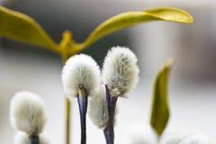 Wierzbowi kwiaty Obraz Royalty Free