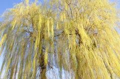 Wierzbowy drzewo Obraz Stock
