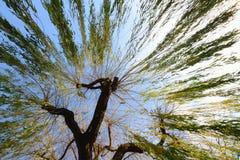 Wierzbowy drzewo Fotografia Royalty Free