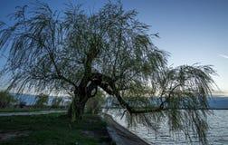 Wierzbowy drzewo Obrazy Royalty Free