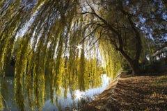Wierzbowy drzewo Zdjęcie Stock