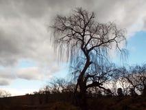 Wierzbowy drzewo Fotografia Stock
