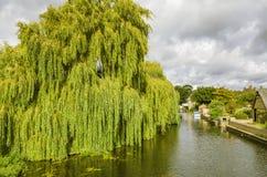 Wierzbowy drzewo na rzecznym Greta Ouse przy Godmanchester Zdjęcie Royalty Free