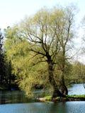 Wierzbowy drzewo na stawie, Gatchina fotografia stock