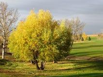 Wierzbowy drzewo przy Bieżącymi wiosnami Obraz Royalty Free