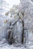 Wierzbowy drzewo w śnieżycy obrazy royalty free