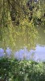 Wierzbowy drzewo w słonecznym dniu Obrazy Royalty Free