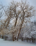 Wierzbowy drzewo w zimie Obrazy Royalty Free
