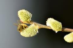Wierzbowy okwitnięcie z pszczołą Fotografia Royalty Free