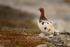 Wierzbowy Ptarmigan - Lagopus lagopus Obrazy Stock