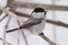 Wierzbowy tit Poecile montanus jest wróblowatym ptakiem w tit zdjęcia stock
