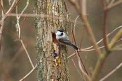 Wierzbowy tit siedzi na drzewie blisko wydrążenia z gniazdeczkiem podczas th zdjęcia royalty free