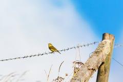Wierzbowy Warbler Zdjęcia Stock